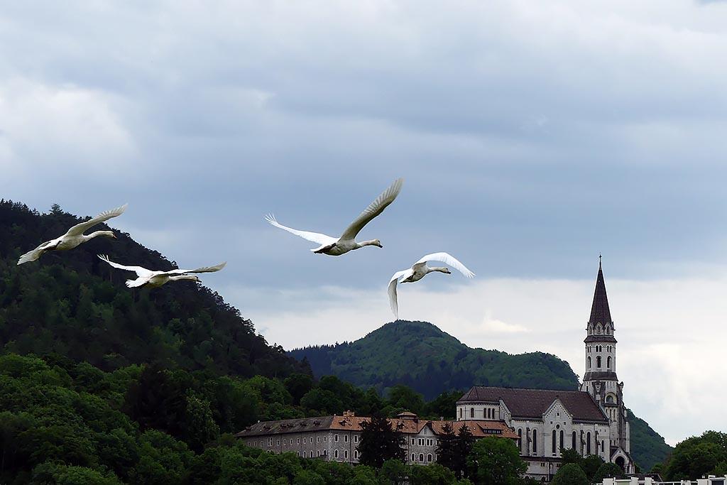 Cygnes en vol devant la basilique de la visitation, Annecy